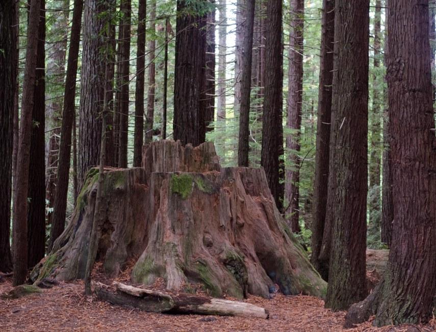 redwoods 001