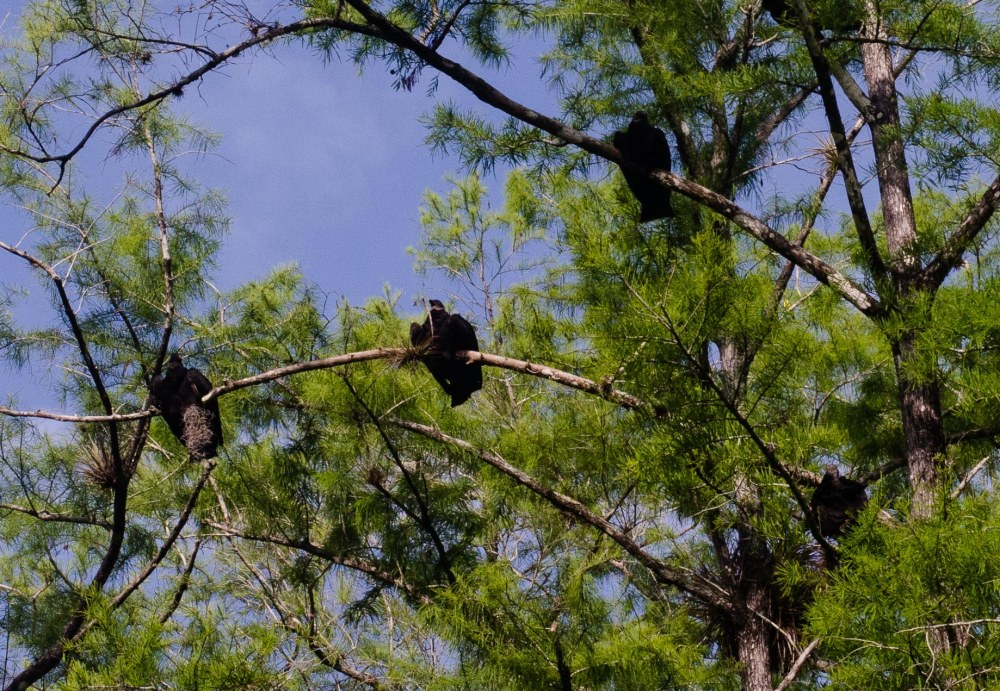 Black Vultures watching us from high in a tree. Big Cypress National Preserve, Florida