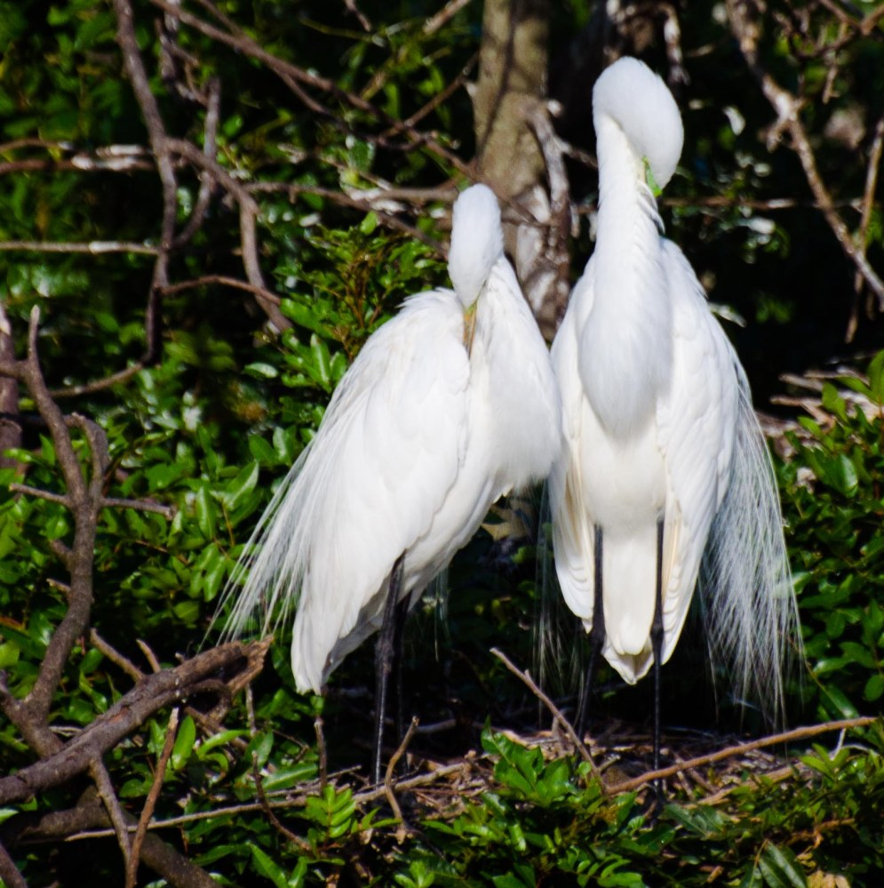 Great Egret nesting. Venice Rookery, Florida