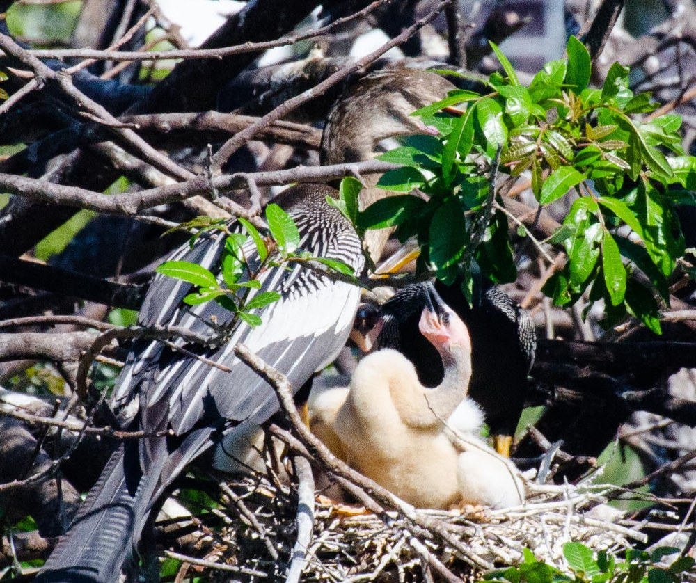 Anhinga caring for chicks. Venice Rookery