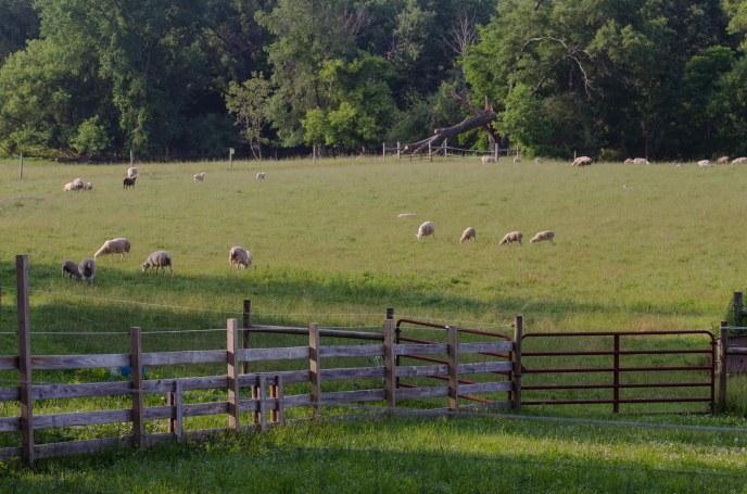 Grazing livestock.