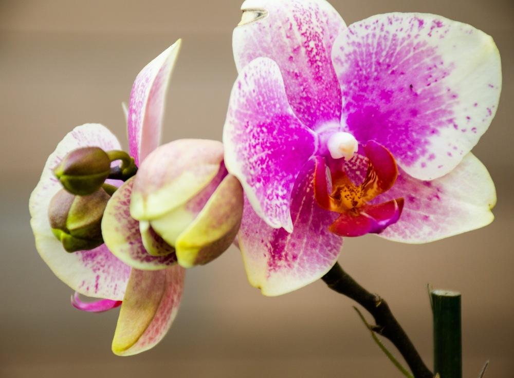 20150106-botanical garden orchids 077