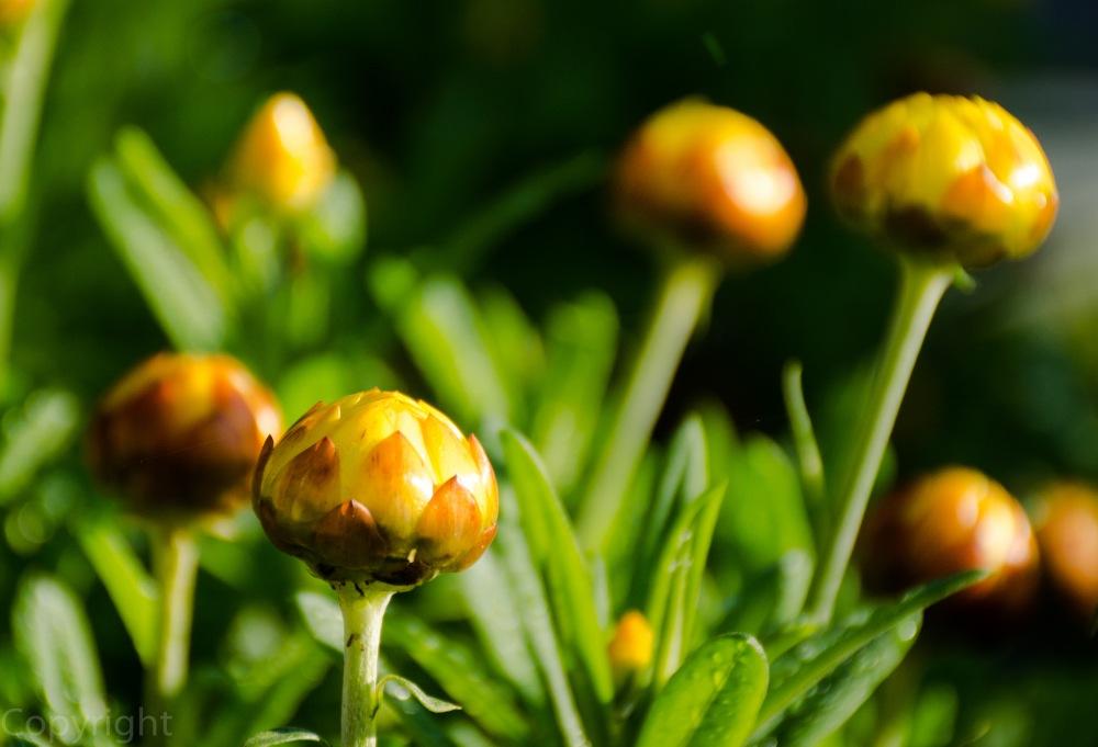 Strawflower buds?