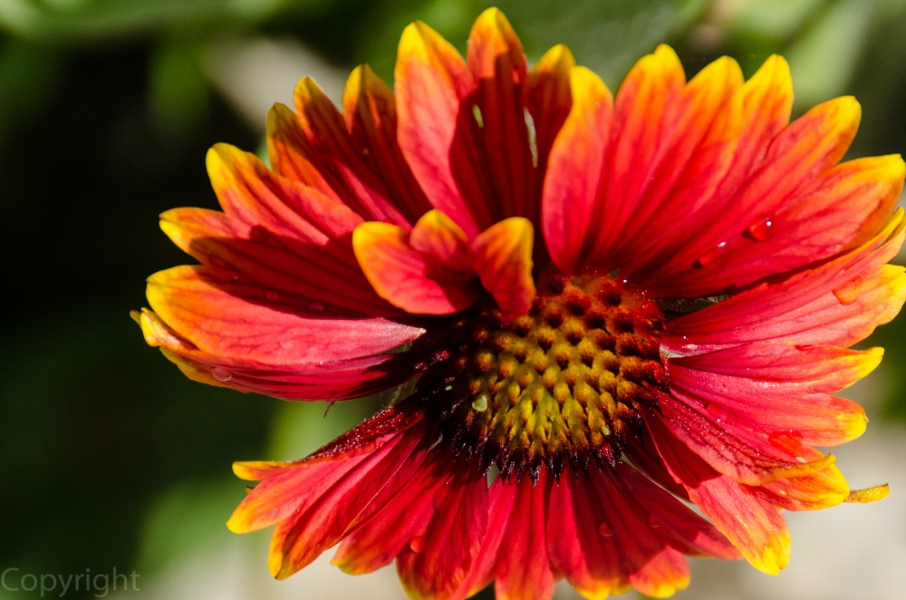 A winter-blooming blanket flower in Florida.