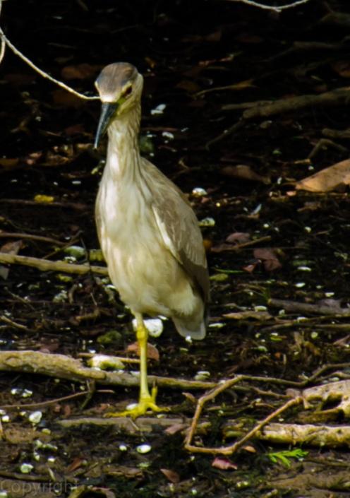 Juvenile Green Heron?