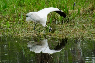 I learned the Wood Stork spreads a wing for balance as it digs for tasty morsels.