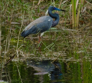 Tricolored Heron in Mating feathers.