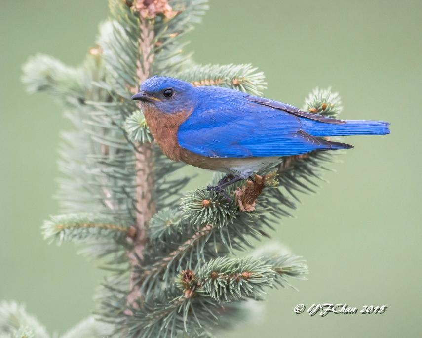 Bluebird on Evergreen (1 of 1)