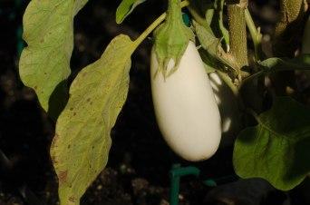 White Star Eggplant