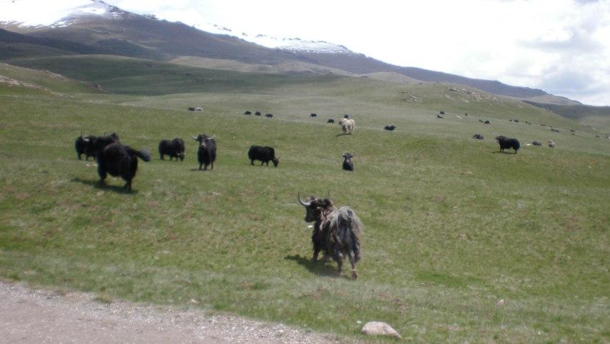 20090616-yak grazing-2-2