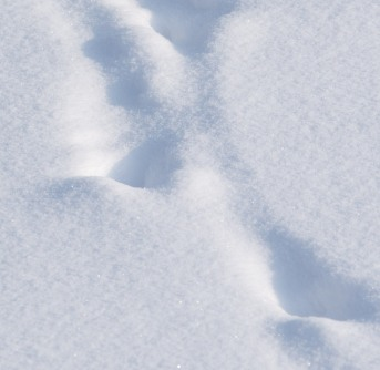 Deer tracks across a lawn.