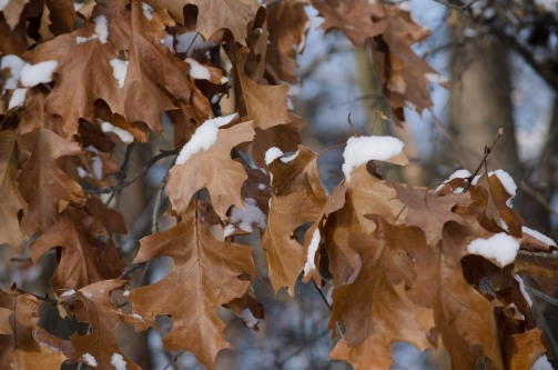Snow hanging on hanging on oak leaves.