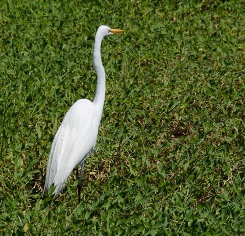 Great Egret in Breeding