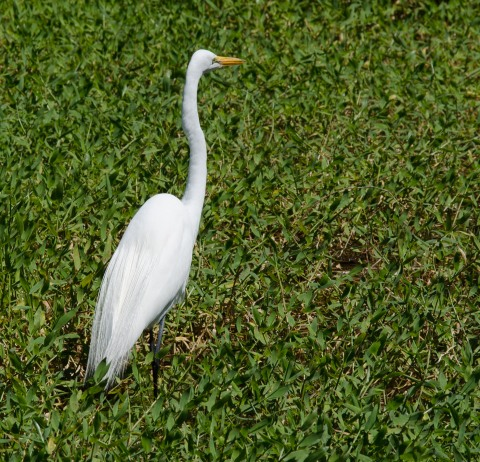 Great Egret in Breeding