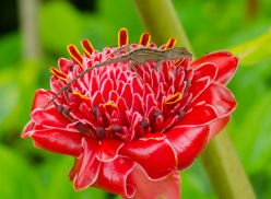 Torch Ginger (Etlingera)